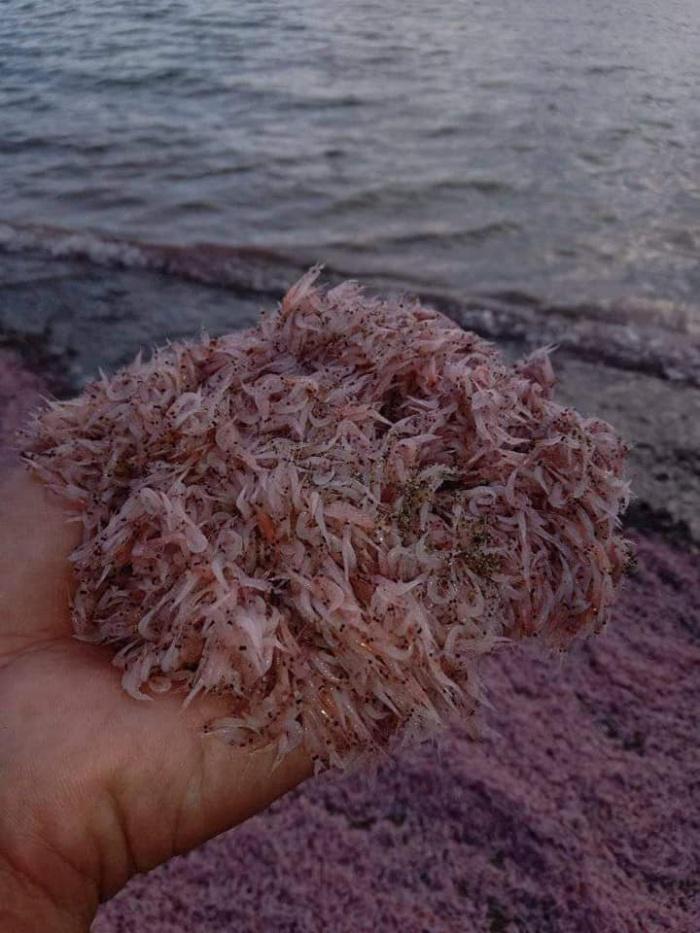 alamang pink beach